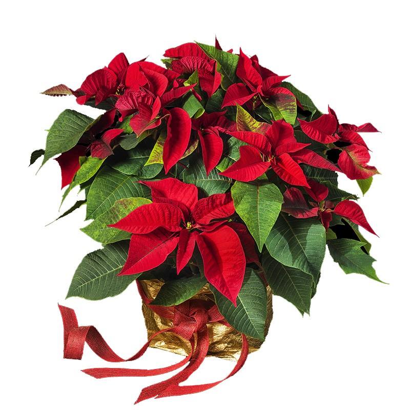 planta de navidad para regalo con motivo