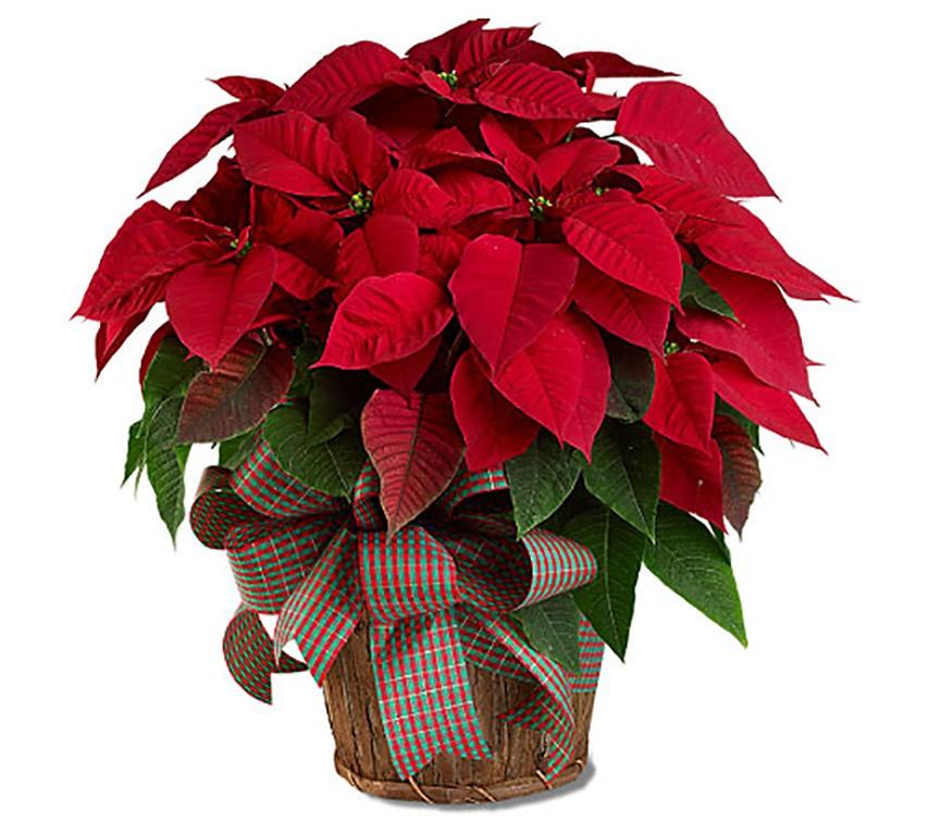 Cuidados de la planta de navidad fabulous flor de pascua - Cuidados planta navidad ...