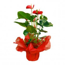 Regalo Anthurium