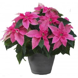 Poinsettia de color rosa